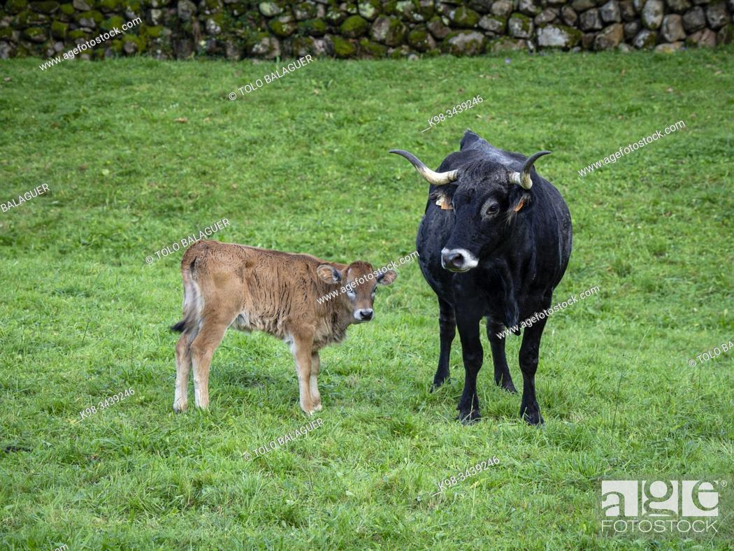 Stock Photo: Tudanca , raza bovina autóctona de la zona occidental de Cantabria, Valle de Cabuérniga, parque natural del Saja-Besaya, Cantabria, Spain.