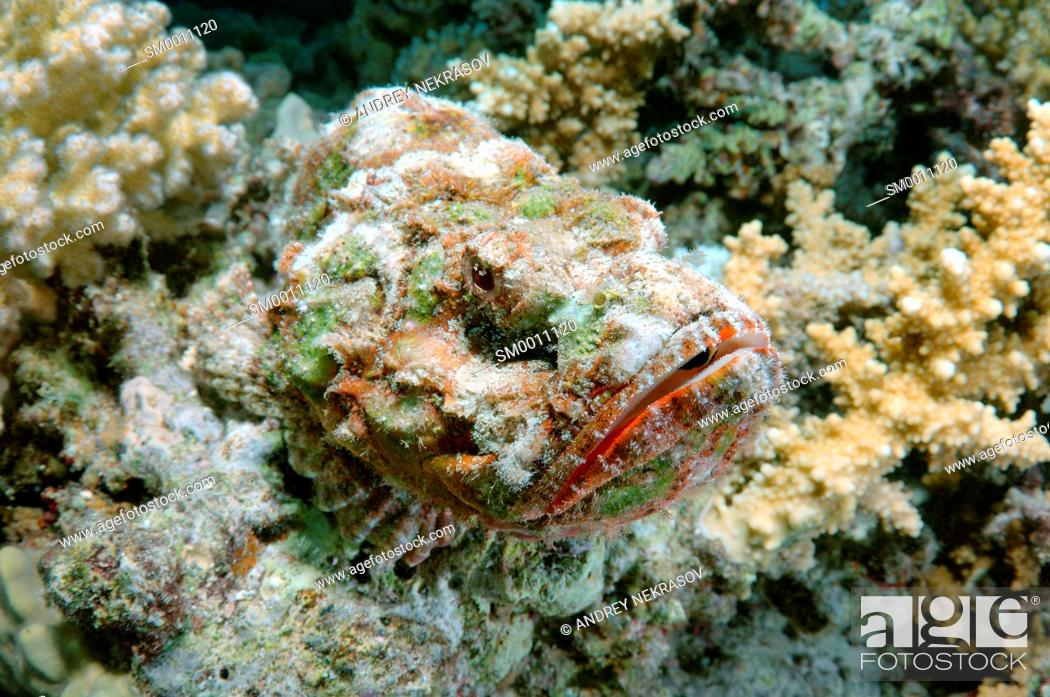 Stock Photo: camouflage reef stonefish or simply stonefish (Synanceia verrucosa) Red sea, Egypt, Africa.