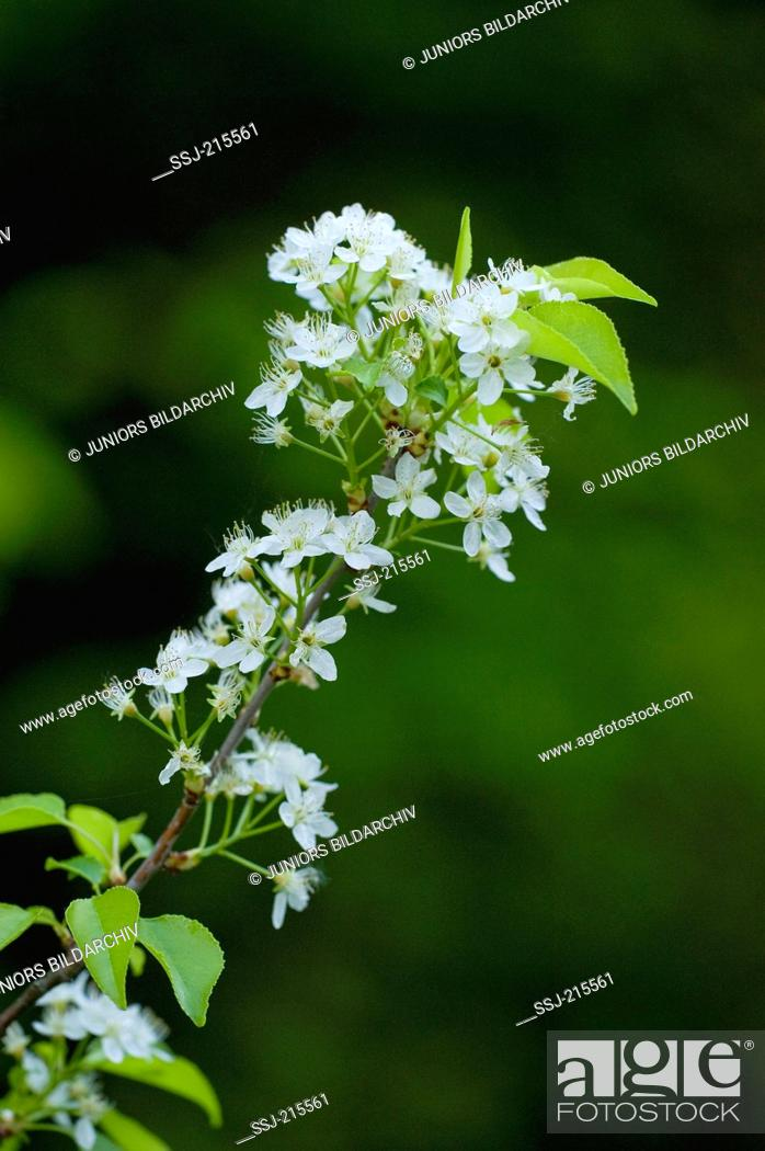 Stock Photo: Mahaleb Cherry, St Lucie Cherry (Prunus mahaleb), flowering twig. Germany.