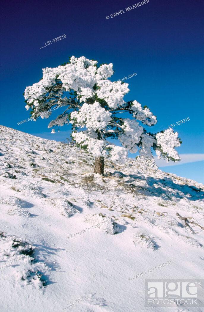 Stock Photo: Snow covered Pine (Pinus sylvestris) in Penyagolosa. Castellon province. Comunidad Valenciana. Spain.