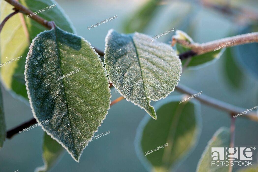 Stock Photo: Closeup of frozen cherry tree leaves.