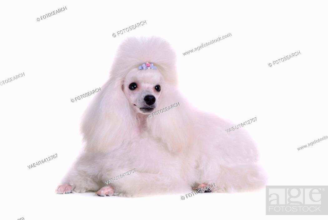 Stock Photo: canines, animal, domestic, poodle, dog, loving, pet.