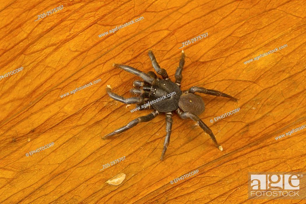Stock Photo: Trapdoor spider of the family Ctenizidae from Kanger Ghati National Park, Bastar District, Chhattisgarh.