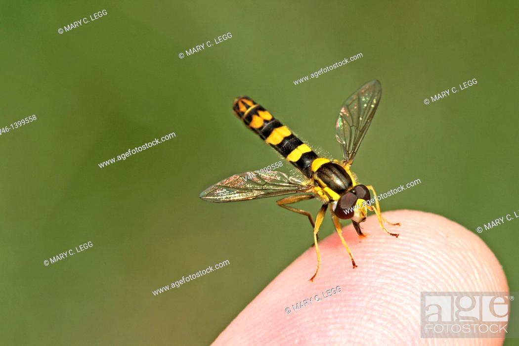 Stock Photo: Sphaerophoria scripta on the photographer's finger  The flower fly imitates the markings of a small wasp, but is stingless  Head toward camera  Small colorful.