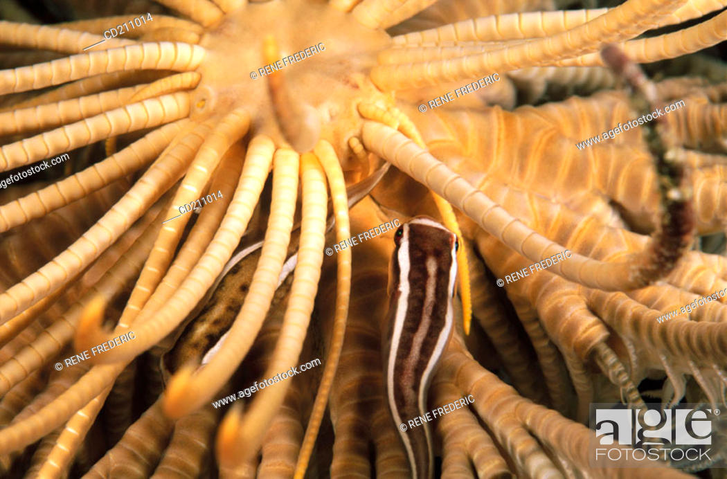 Stock Photo: Crinoid clingfish (Discotrema crinophila).