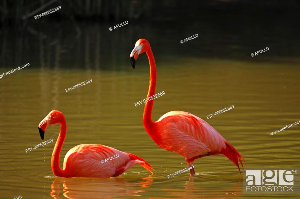 Stock Photo: American Flamingo, Phoenicopterus ruber ruber, standing in a lake.