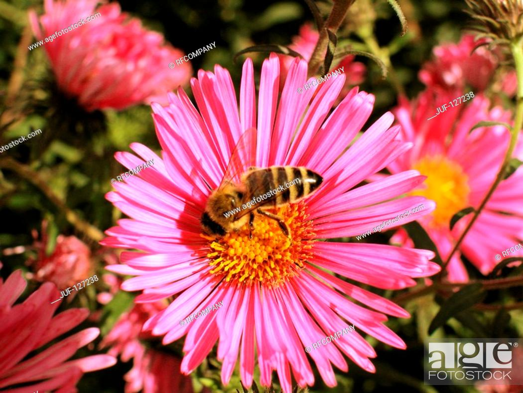 Stock Photo: bee on aster.