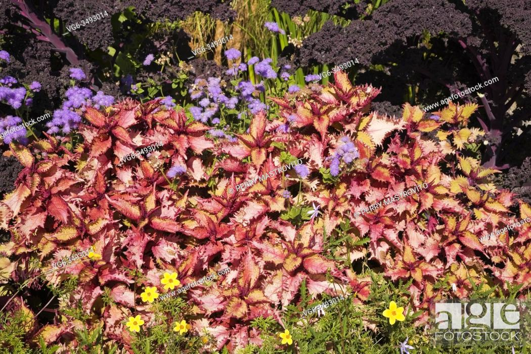 Stock Photo: Garden border in early autumn with yellow Potentilla cinquefoil flowers and red Solenostemon - Coleus subshrubs in the foreground with Blue floss flowers and.