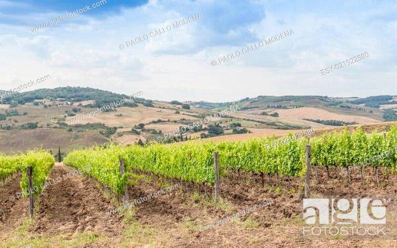 Stock Photo: Tuscan wineyard.