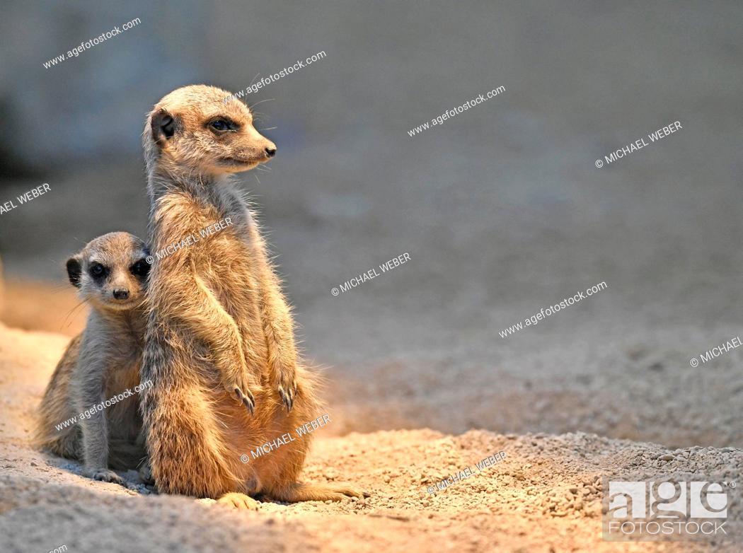 Stock Photo: Meerkats or suricates (Suricata suricatta), juvenile, 13 weeks, peeking anxiously from behind older animal, captive.