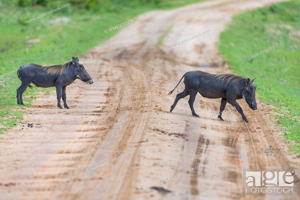 Stock Photo: Common Warthog (Phacochoerus africanus), Tanzania, East Africa.