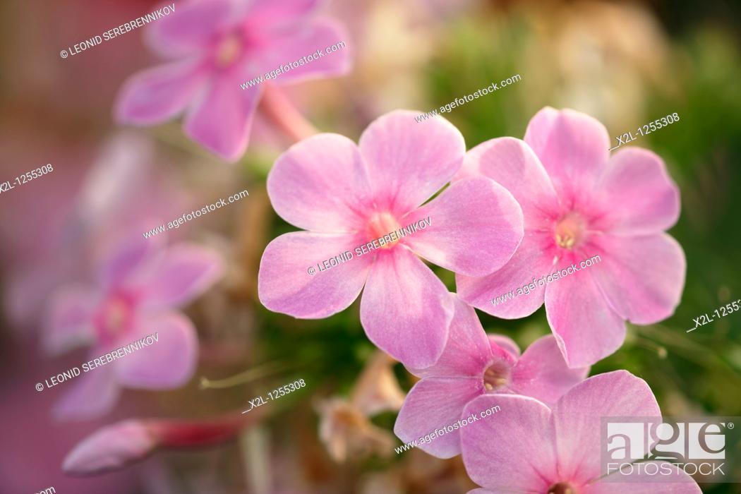 Stock Photo: Pink phlox flowers  Scientific name: Phlox paniculata.