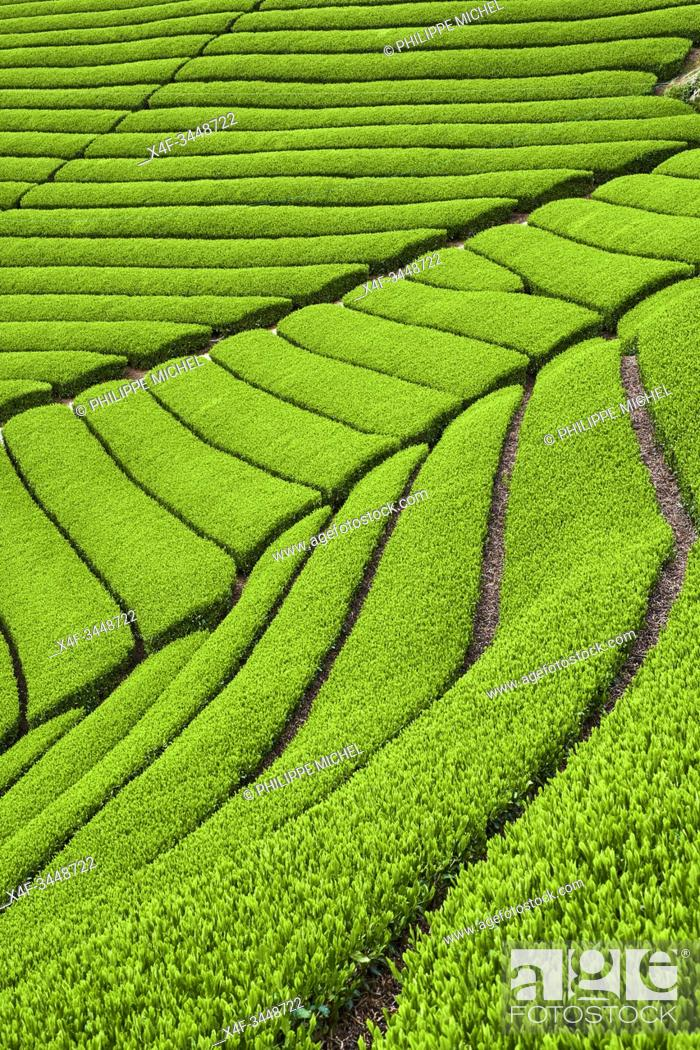 Stock Photo: Japan, Honshu island, Kansai region, Uji, tea field for Sencha, Gyokuro and Matcha tea.