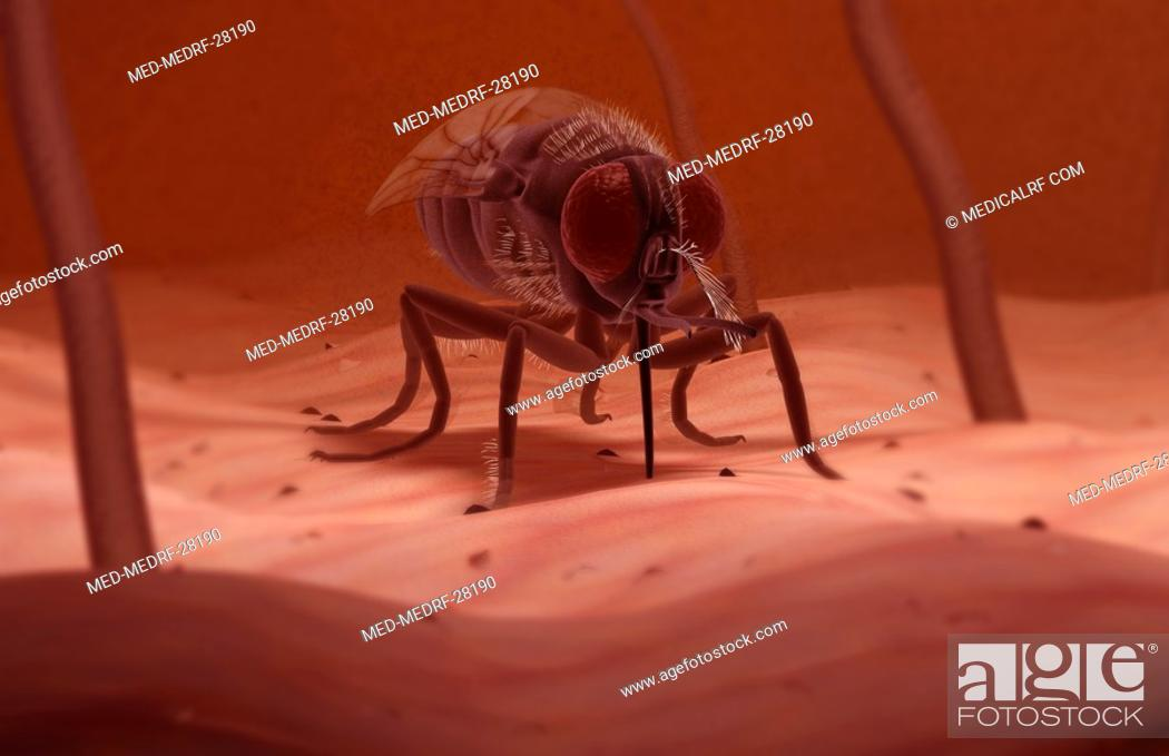 Stock Photo: Tsetse fly.