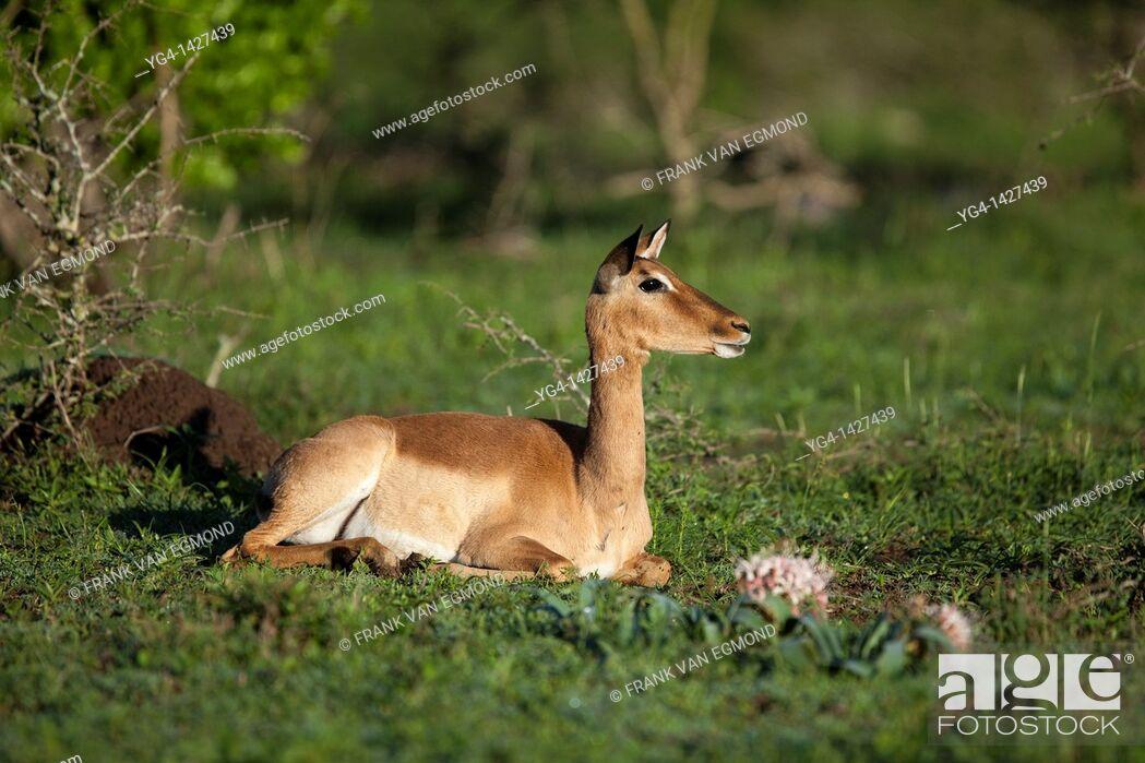 Stock Photo: Impale female Aepyceros Melampus   Hluhluwe Imfolozi Game Reserve  Kwazulu-Natal, South Africa  November 2010.
