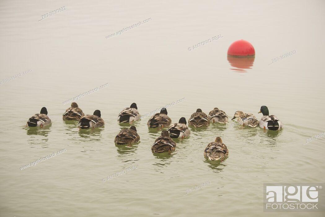 Imagen: Mallard (Anas platyrhynchos). Almansa Reservoir. Albacete province. Spain.
