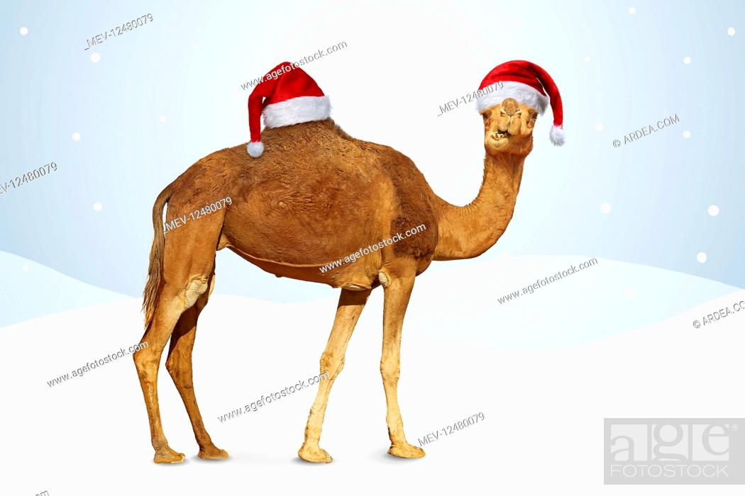 Stock Photo: Camel in winter scene with Christmas hats.
