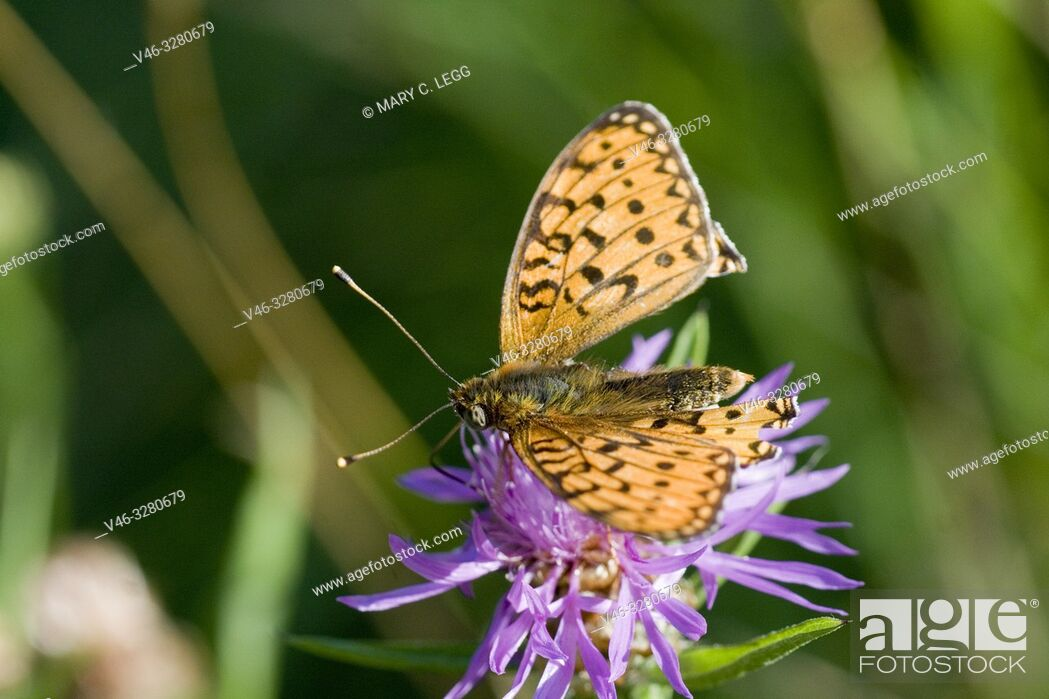 Stock Photo: Dark Green Fritillary, Argynnis aglaja. A large checquered orange and black buttefly with olive green patches on the underwing with mother of pearl markings.