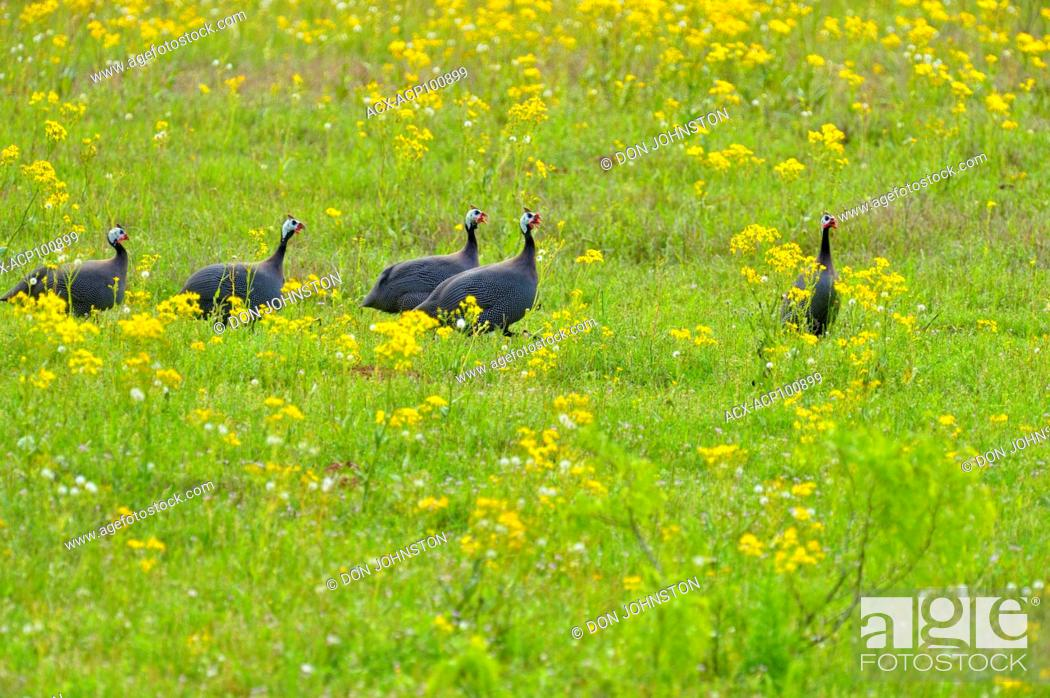 Stock Photo: Free-range guinea fowl foraging in a pasture, Ranch Road 386, Mason County, Texas, USA.