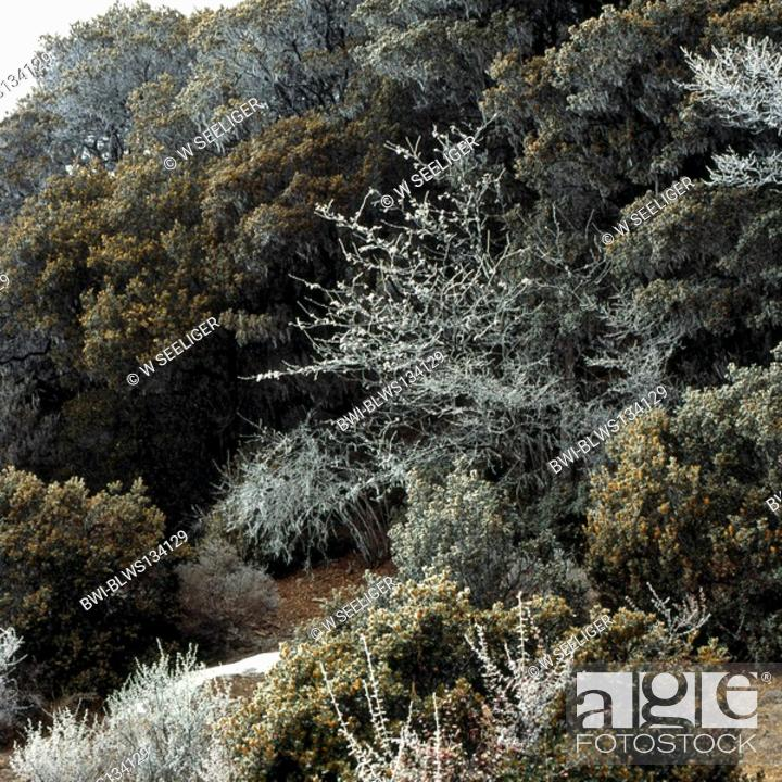 Stock Photo: forest with hoar frost in the Minya Gongka region, China, Sichuan, Minya Gongka, Osttibet, Kham, Kangding.