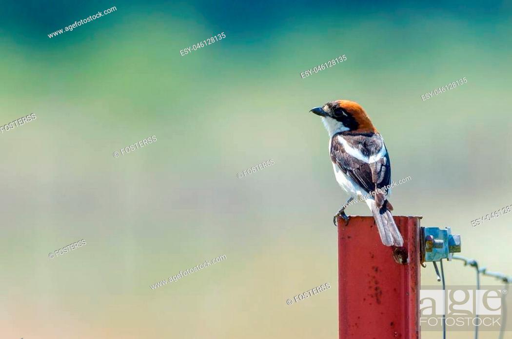 Stock Photo: woodchat shrike (Lanius senator) perched on the fence in natural habitat.
