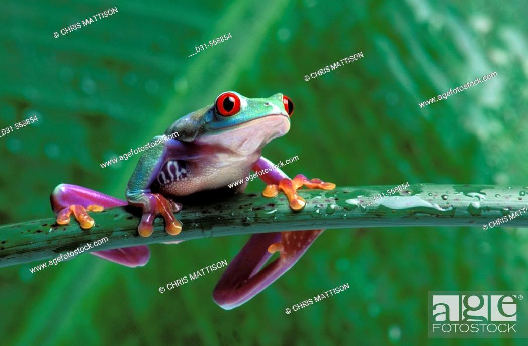 Stock Photo: Red-eyed Tree Frog, Agalychnis callidryas, Costa Rica.