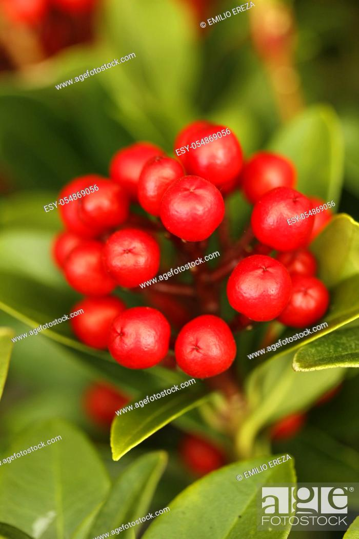 Stock Photo: Skimmia japonica.