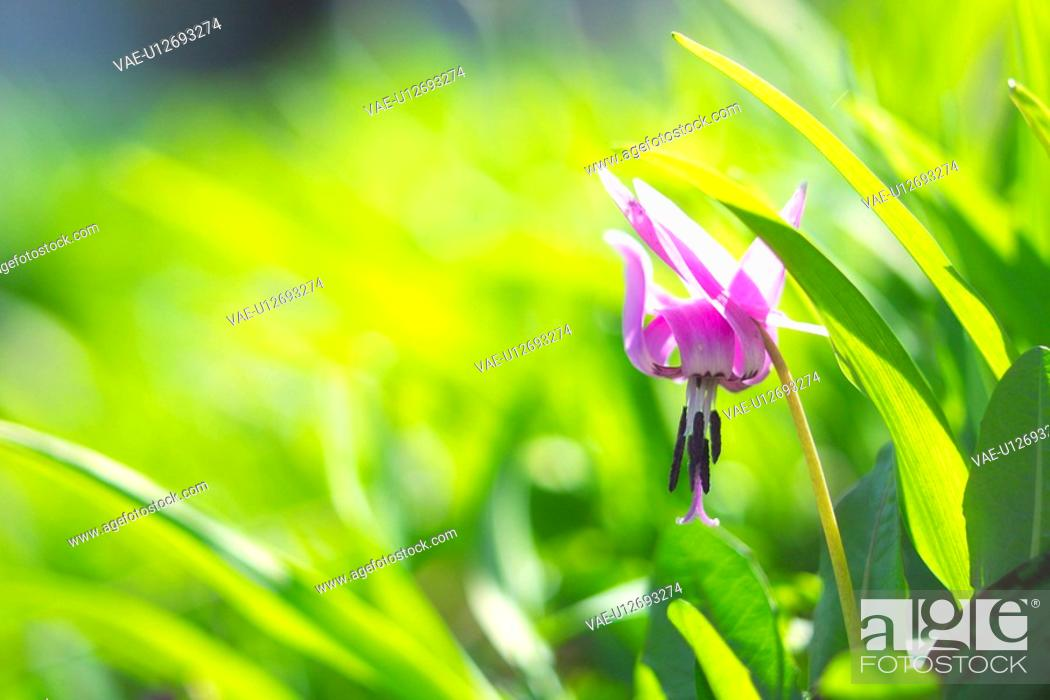 Stock Photo: Dogtooth Violet.