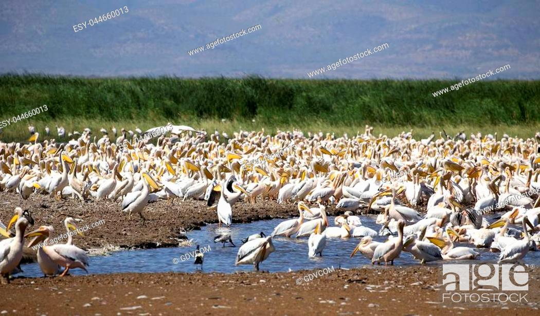 Stock Photo: Thousands of pelicans in Manyara lake reserve, Tanzania.