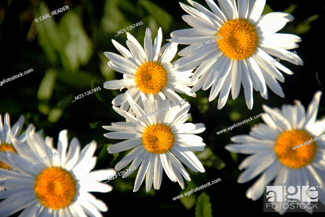 Stock Photo: Daisies peer out at the morning sun.
