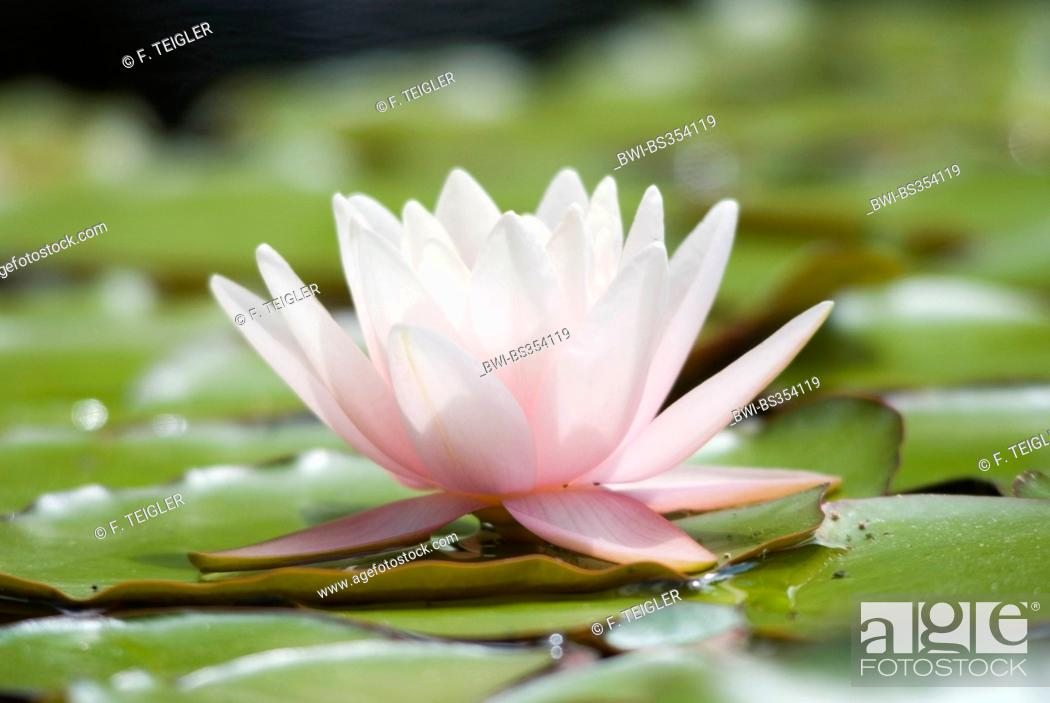 Stock Photo: water lily, pond lily (Nymphaea spec.), single flower.