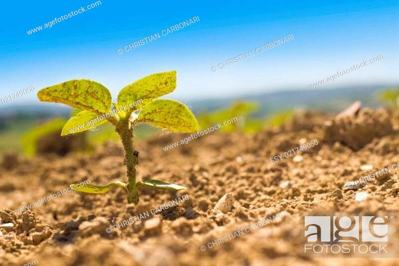 Stock Photo: One sunflower in the land.