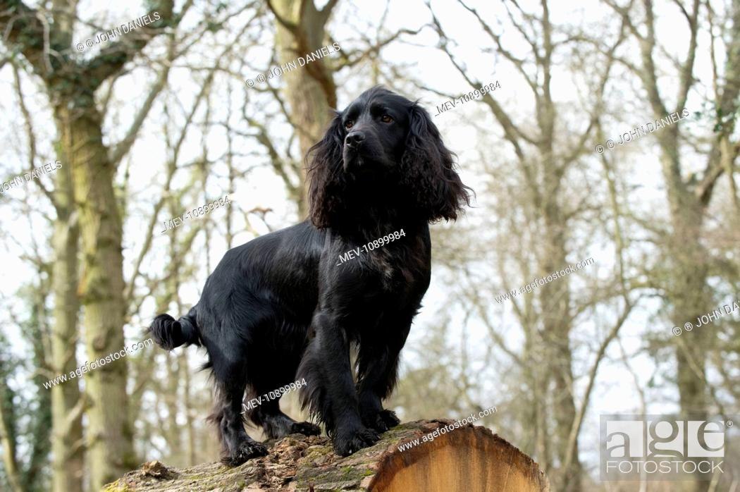 Stock Photo: DOG - Cocker spaniel standing on top of fallen tree trunk.