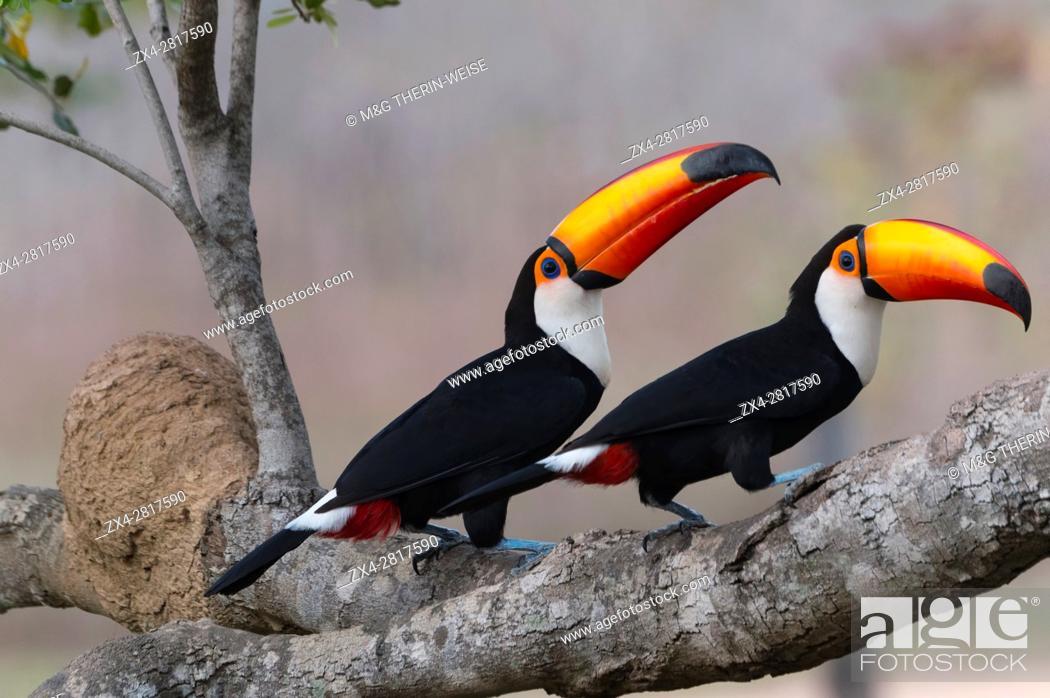 Stock Photo: Pair of Toco Toucan (Ramphastos toco), Pantanal, Mato Grosso, Brazil.