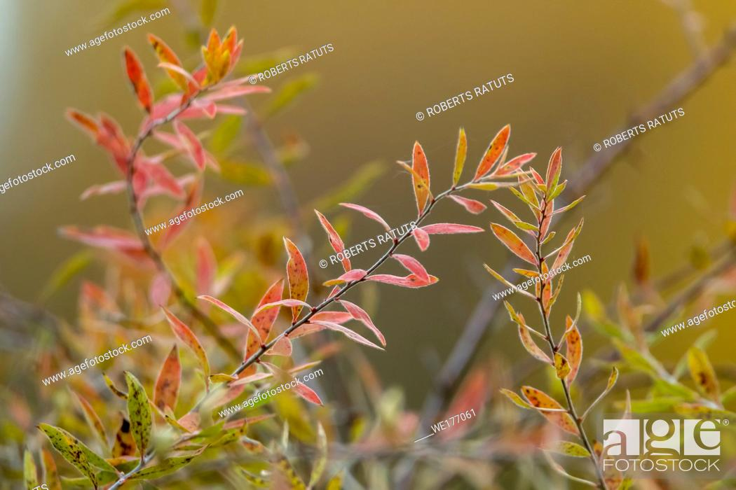 Stock Photo: Autumn background with bush branches. Bush with red and green leaves in Latvia.