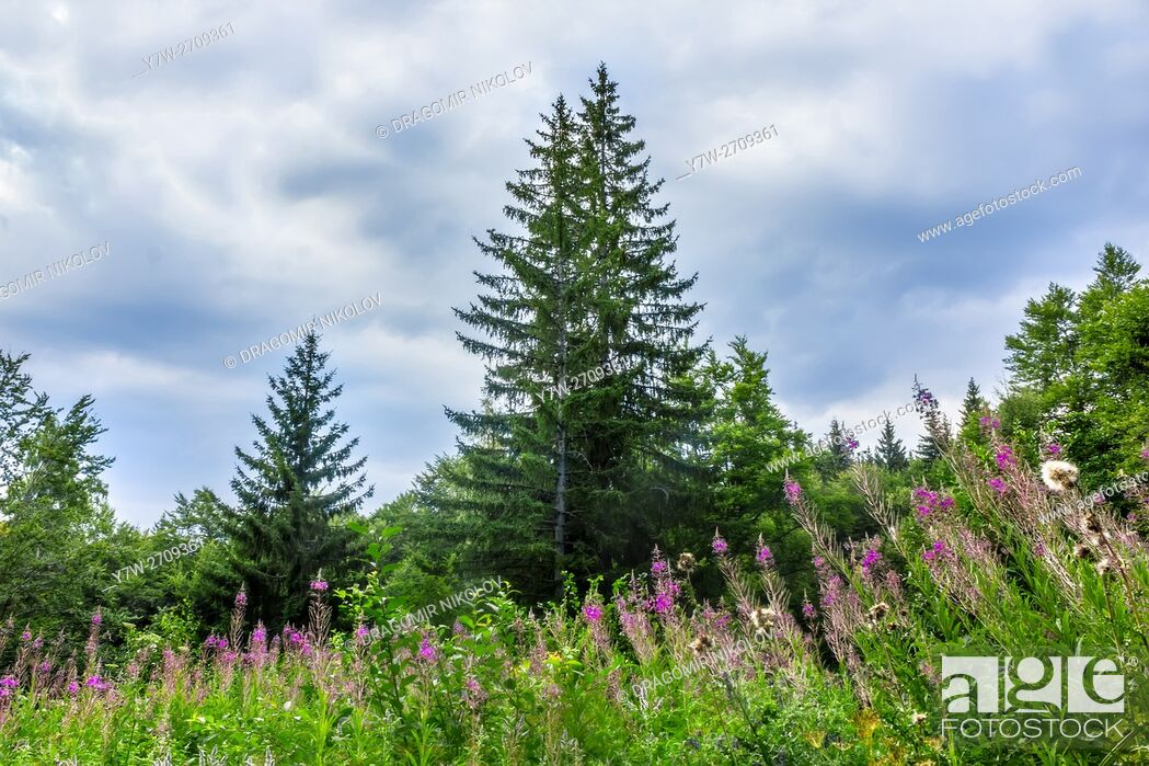 Stock Photo: Landscape with spruce and glade with blooming fireweed in the mountain. The photo is taken in Vitosha mountain in Bulgaria, Europe.