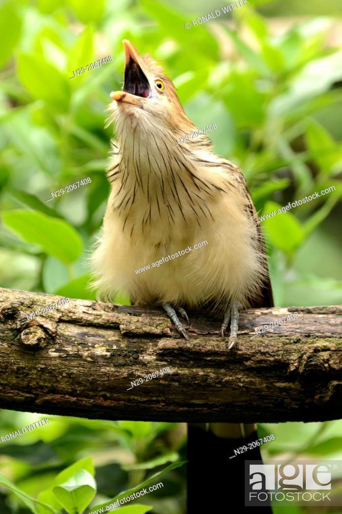 Stock Photo: Guira Cuckoo, Guira guira, captive, Germany.