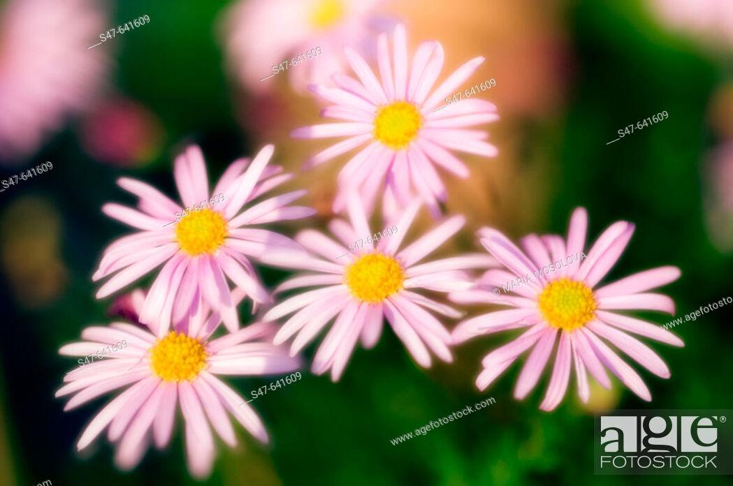 Stock Photo: Pink Daisy 'Clara Curtis'. Chrysanthemum rubellum, dendrathema. May 2006. Maryland, USA.