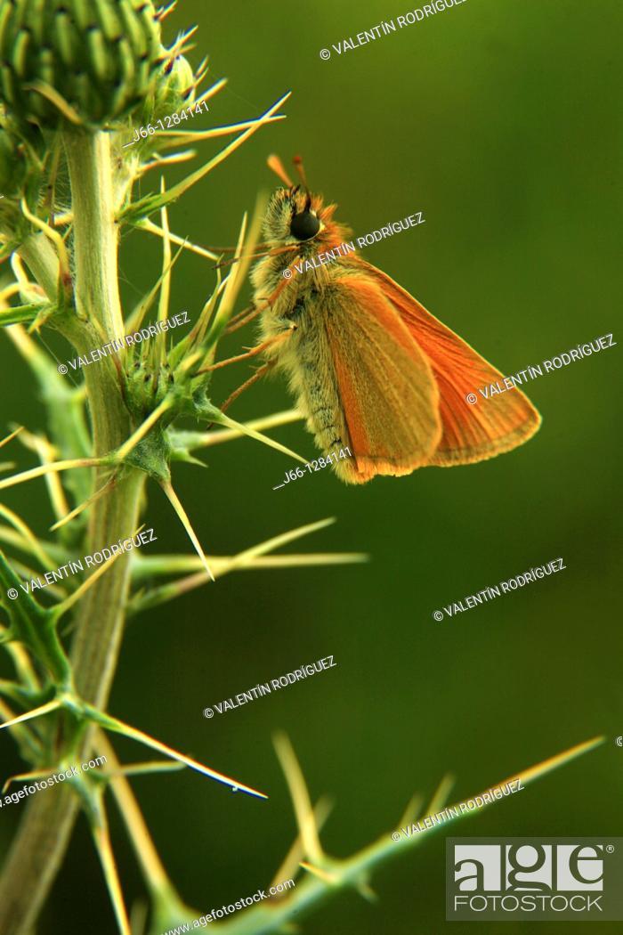Stock Photo: Butterfly, Serrania de Cuenca, Castilla-La Mancha, Spain.
