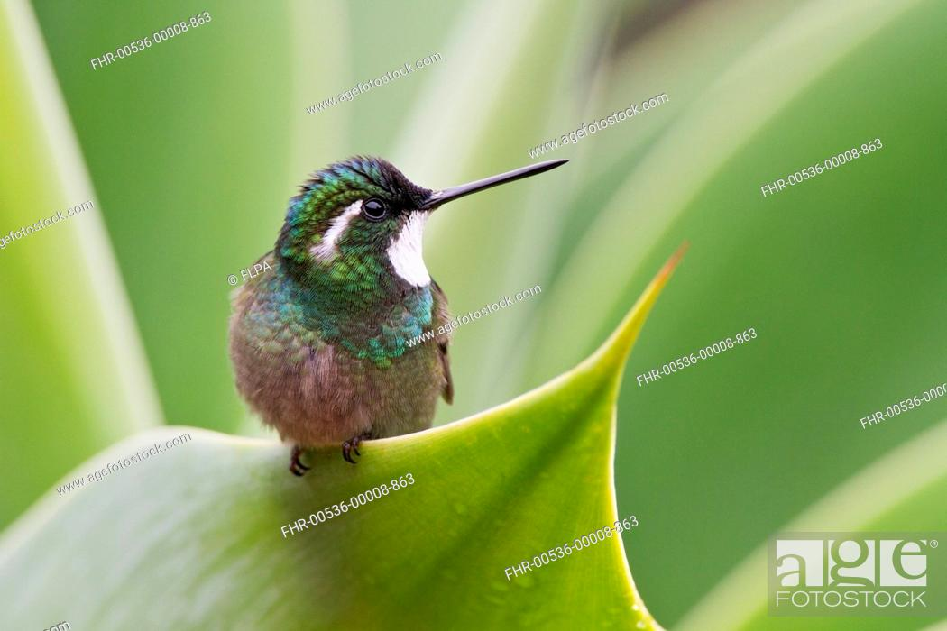 Stock Photo: White-throated Mountain-gem (Lampornis castaneoventris) adult male, perched on leaf, Savegre, Costa Rica, April.