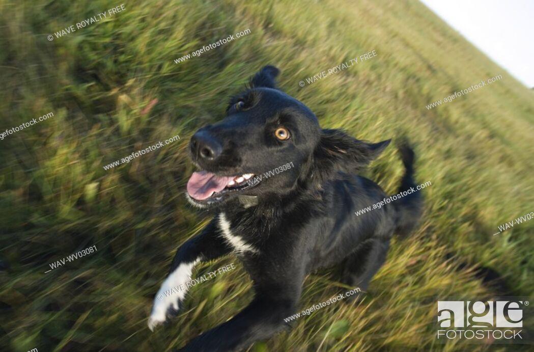 Stock Photo: Black mixed breed dog running toward camera, Canada, Alberta.