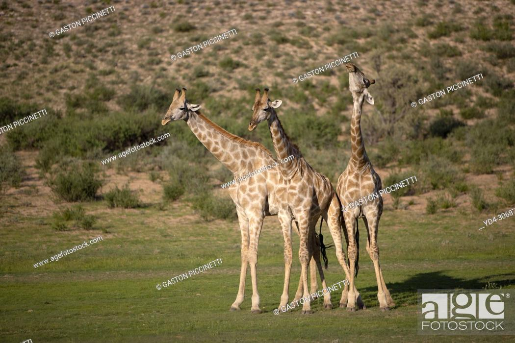 Photo de stock: Giraffe (Giraffa giraffa giraffa), Kgalagadi Transfrontier Park, Kalahari desert, South Africa/Botswana.