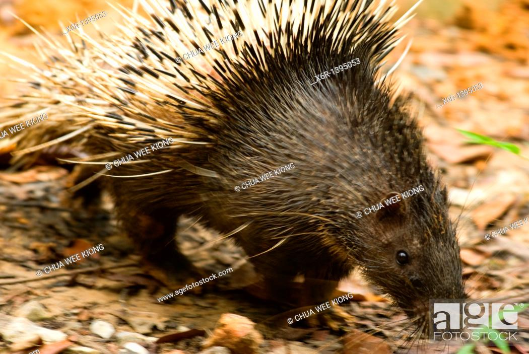 Stock Photo: Porcupine of sarawak, Malasya.