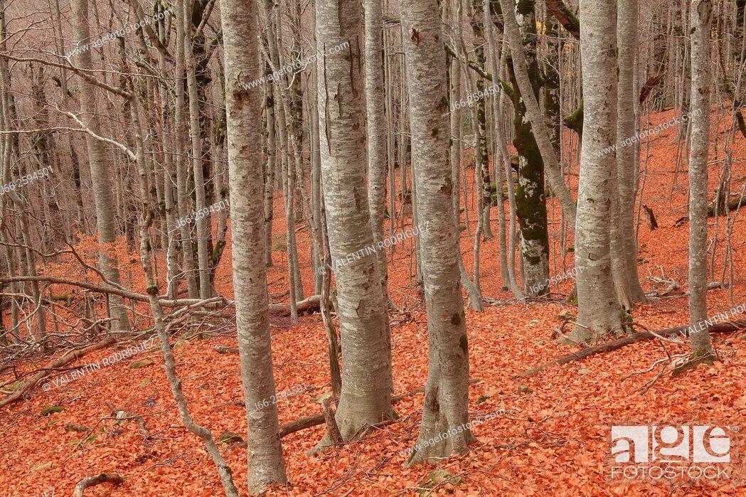 Imagen: Beech forest in the valley of Ordesa. Ordesa National Park. Huesca.