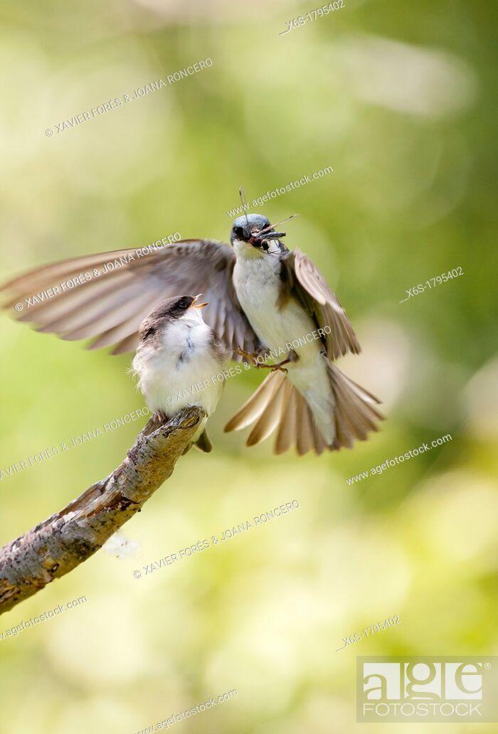 Imagen: Tree Swallow - Tachycineta bicolor -, Potter Marsh, Anchorage coastal wildlife refuge, Anchorage, Alaska, U S A.