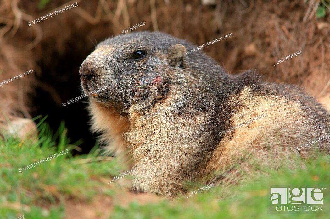 Stock Photo: Marmot (Marmota marmota) in the Gran Paradiso National Park. Italy.