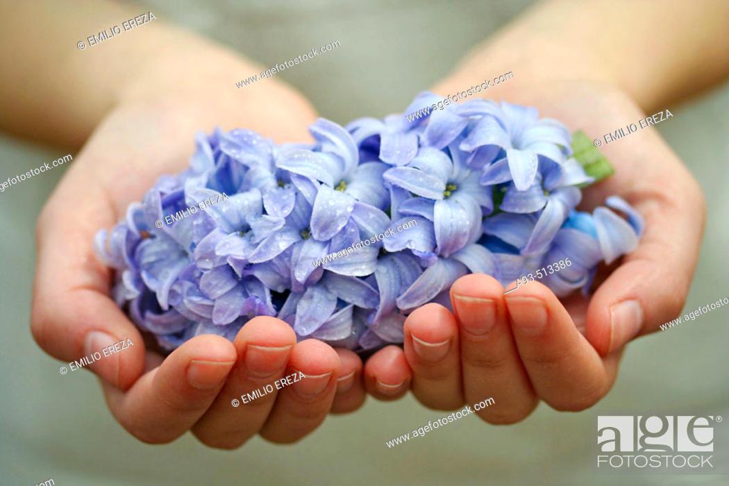 Stock Photo: Hyacinth (Hyacinthus hybr.).