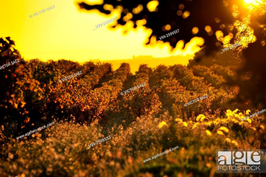 Stock Photo: Vineyards in autumn. France.