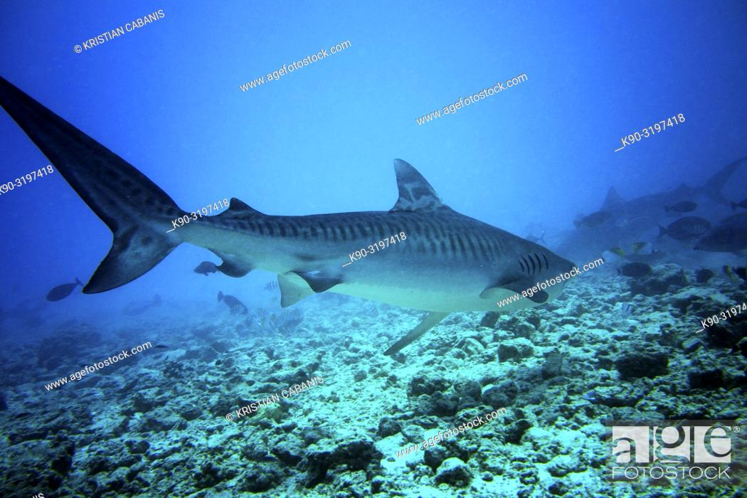 Imagen: Tiger Shark (Galeocerdo cuvier) swimming across the reef in search for food, Indian Ocean, Maldives, South Asia.