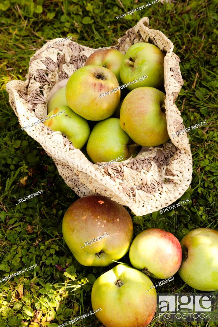 Stock Photo: harvested grenadier apples collected in a raffia hat.